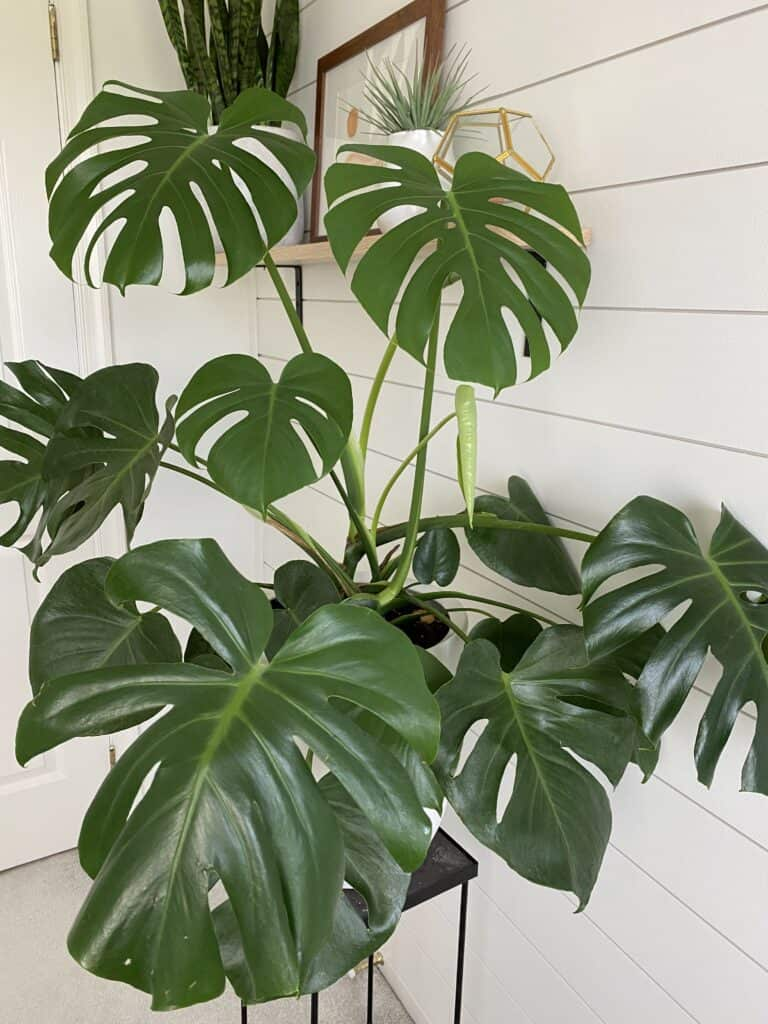 monstera deliciosa plant care